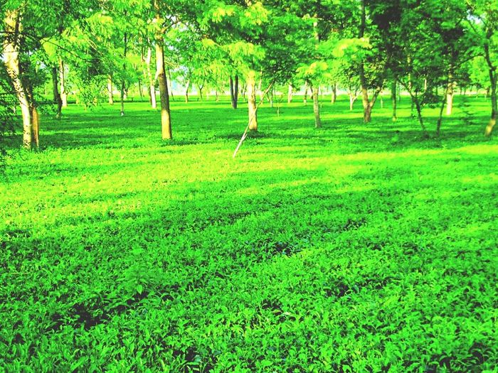 Beautiful Tea Garden pic Green Color Tea Teagarden Grass Tree Growth Nature Park - Man Made Space Outdoors Field Day Beauty In Nature No People First Eyeem Photo