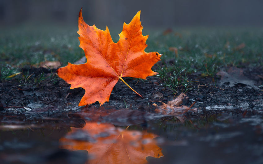 Close-up of orange maple leaf on land