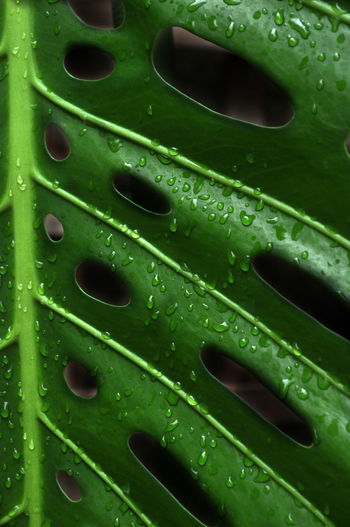 Backgrounds Close-up Day Detail Drop Full Frame Green Green Color Leaf Metal Nature No People Outdoors Pattern Swiss Cheese Plant Textured  Water Wet Natures Diversities Fine Art Photography Colour Of Life Color Palette Maximum Closeness Perspectives On Nature