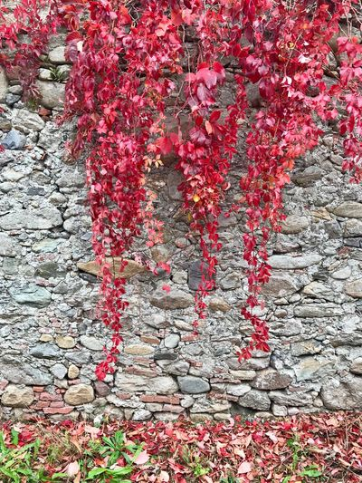 Red Plant Flowering Plant Flower Growth Wall - Building Feature Beauty In Nature No People Building Exterior