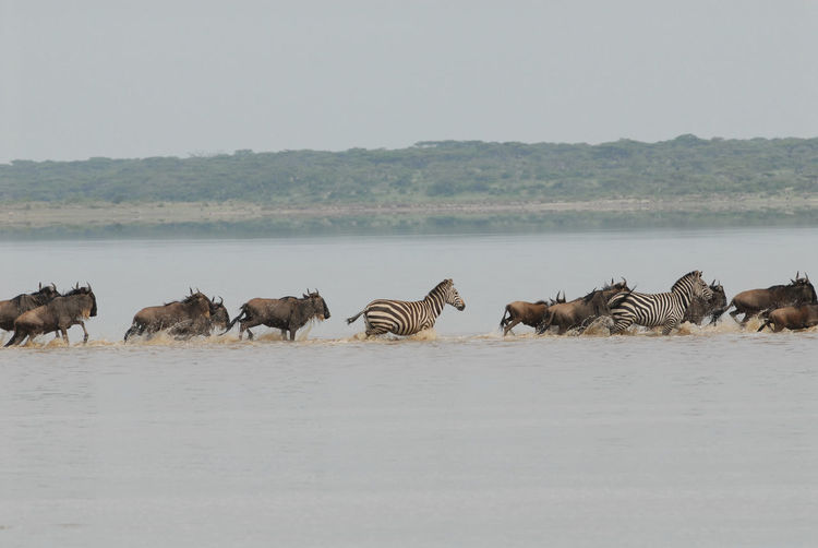 Wildebeest and zebras running in river
