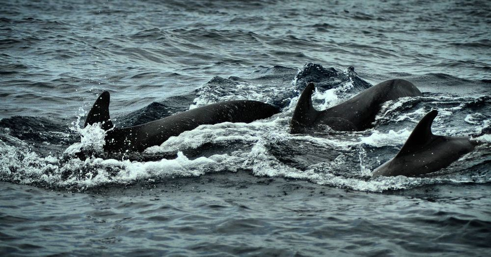 Pilot whales Whale Watching Pilotwhales Tenerife
