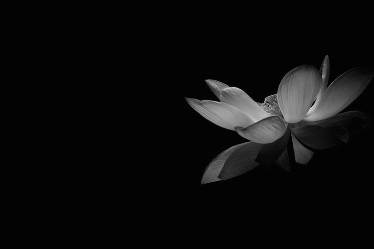 Flower Petal Nature Beauty In Nature Black Background Klmfoto Tnkarts Zilker Botanical Garden Nature Photography Texas Lotus Flower Black And White Photography Canont3i