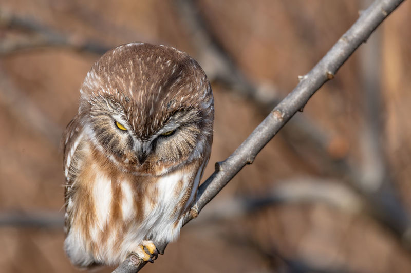 Close-up of owl perching on branch