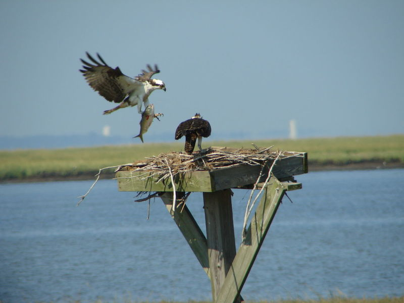 Animal Themes Animal Wildlife Animals In The Wild Beauty In Nature Bird Bird Of Prey Day Fish In Talons Flying Nature New Jersey Wetlands No People One Animal Osprey Nex Osprey With Fish Ospreys Outdoors Spread Wings Water