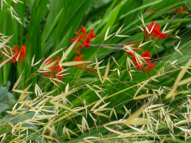 Crocosmia and Ornamental Grass Flowering Plant Summer Flowers Summertime Backgrounds Crocosmia Golden Grass Green Color Green Leaves Nature No People Outdoors Red Red Flower Red Flowers Windy