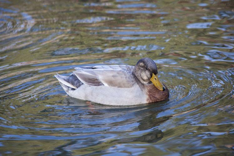 A duck. Animal