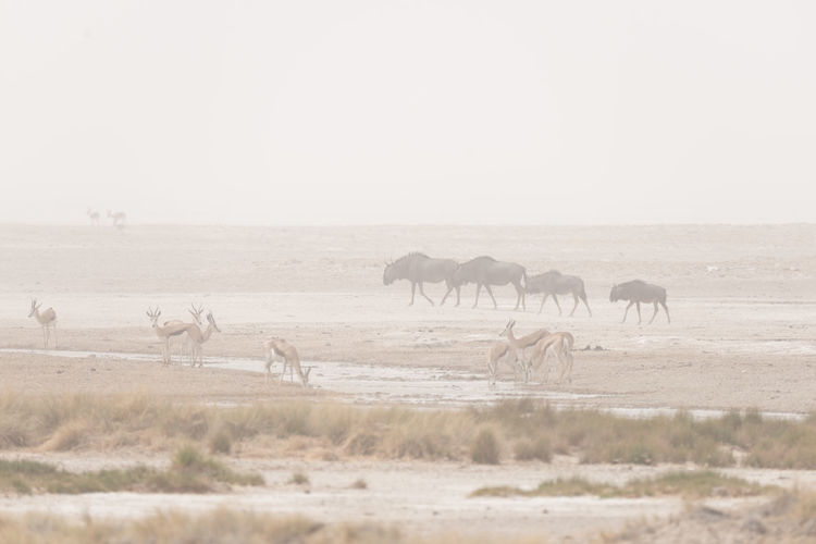 Impalas and wildebeests on field