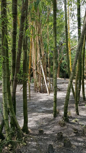 No Filter Wallpaper Photography No People Candid Beauty In Nature Nature Close-up WallpaperForMobile Outdoors Bamboo Grove Bamboo - Plant