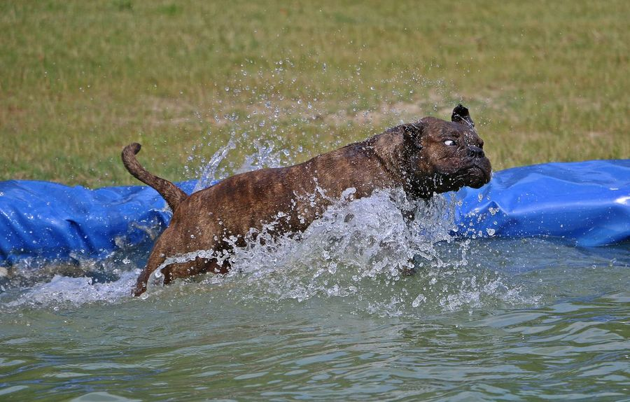 english bulldog is jumping in the pool with a funny face English Bulldog EnglishBulldog EyeEm Pets FUNNY ANIMALS Action Active Animal Themes Day Dog Domestic Animals Funny Faces Jumping Mammal Nature One Animal Outdoors Party Pets Pool Splashing Sport Swimming Water