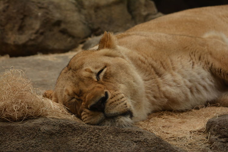 Close-up of a sleeping lioness