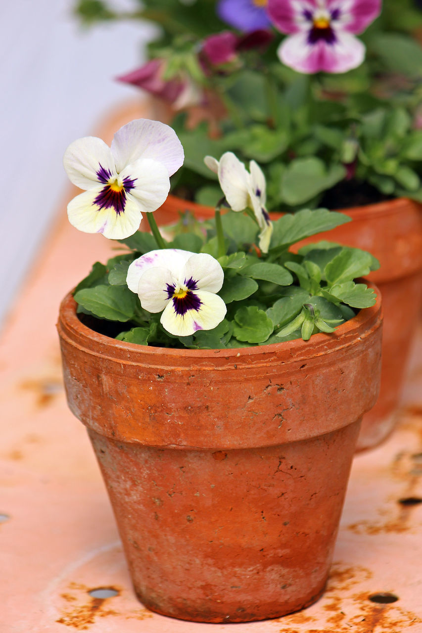 Close-Up Of Potted Pansy