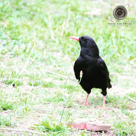 ~~~~~~~~~~~~~~~~~~~~~~~~~~~~~~~~ 🐦🐦 🇷 🇦 🇻 🇪 🇳 🐦🐦 ~~~~~~~~~~~~~~~~~~~~~~~~~~~~~~~~ THE NATIONAL BIRD OF BHUTAN ~~~~~~~~~~~~~~~~~~~~~~~~~~~~~~~~ The Raven is the Bhutan's National Bird. It represents one of the most powerful deities of the country, Jarog Dongchen. Raven is thus known in the local language as 'Jarog'. The Royal Raven Crown or Druk Gyalpo represents Bhutan's reverence for these birds and the faith of Bhutanese in their protective deity. Jarog Dongchen along with Yeshey Gonpo (Mahakala) and Palden Lhamo (Mahakali) form the Divine Trinity, who protects the King and the people of Bhutan from harm and safeguard their well being. At one time, it was a capital crime to kill a Raven in Bhutan. One can still see ravens nesting in monasteries and dzongs throughout Bhutan. ~~~~~~~~~~~~~~~~~~~~~~~~~~~~~~~~ All images are subject to ©copyright No repost, regram or reproduce without prior permission All rights reserved ~~~~~~~~~~~~~~~~~~~~~~~~~~~~~~~~ Raven Bird Nationalbird Paro Bhutan Royalbhutan Bhutanese Travel Travelphotography Indianphotographer Instabirds Birdsofinstagram Crow Crown Monastery Birdphotography Followforfollows Photographers_of_india Instapic Pod Natgeotravelpic Natgeotravel Natgeocreative Convexrevolution Ig_bhutan likeforlikealways click_india_click explorethroughcamera ig_bhutan birdlover