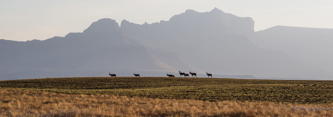 Scenic view of group of hartebeest animals on field against mountain range and clear sky, highmoor nature reserve, drakensberg mountains, south africa