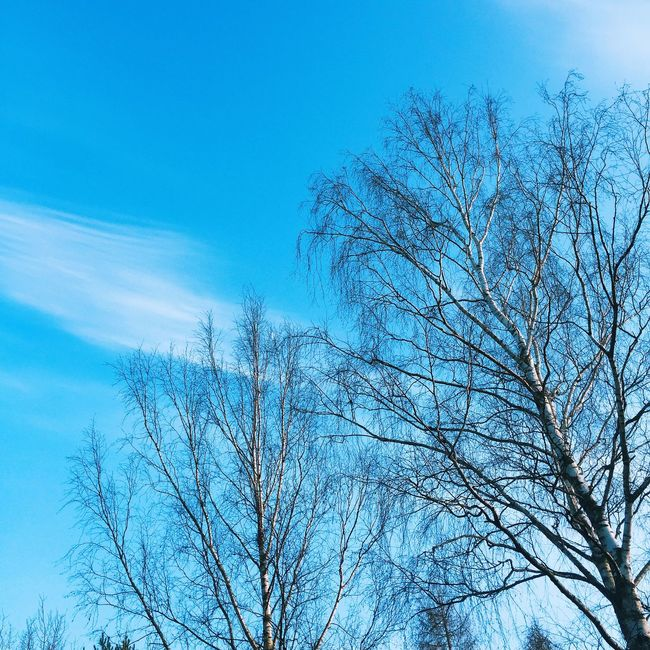 Trees and clear blue sky Blue Blue Sky Branch Branches Branches And Sky Clear Clear Sky Daylight Ecology Environment Flora Forest Morning Morning Sky Nature Nature Details Nature Lover Plant Plants Sun Sunny Day Tree Trees Wood Woods