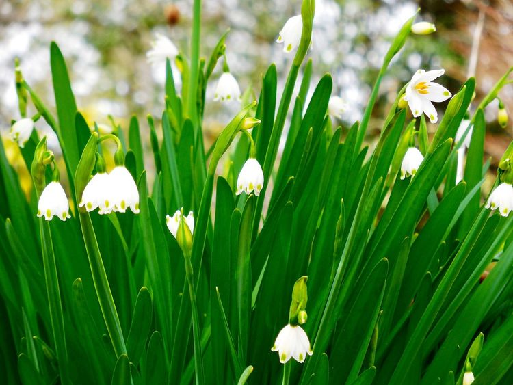 Leucojum Lily Of The Valley EyeEm Flower Spring Today Flower Flowers White スノーフレーク💕鈴蘭水仙✨可愛いがいっぱいだった〜 Summer Snowflake