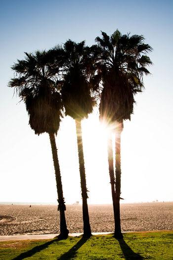 palmtrees at