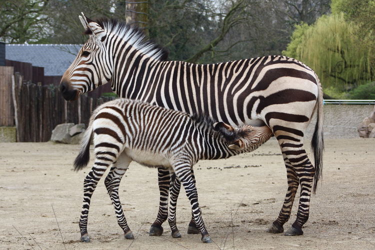 Young Zebra Zebra Safari Animals Animal Markings Standing Togetherness Full Length Striped Foal Young Animal Side View Hoofed Mammal Zoo Animal Family