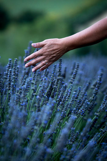 Close-up of hand touching purple flowers on field
