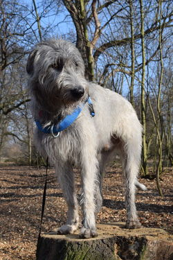 Bokeh One Animal Bare Tree Animal Themes Standing Animals In The Wild Outdoors Looking At Camera Dogwalk Dogs Of EyeEm Dog Of The Day Dogslife Irish Wolfhound Portrait Cearnaigh February 2017 Winter 2017 Take A Walk In The Park Herrenkrugpark How Is The Weather Today? Cold Temperature Sunlight