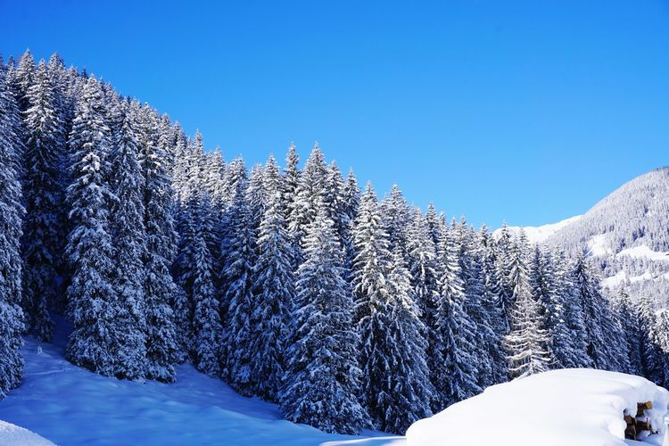 Pine trees on snow covered mountain against clear sky