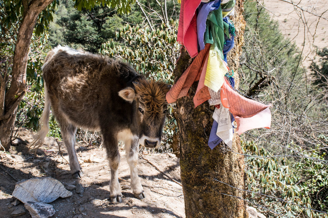Full Length Of Cow Standing By Tree With Prayer Flags On Mountain