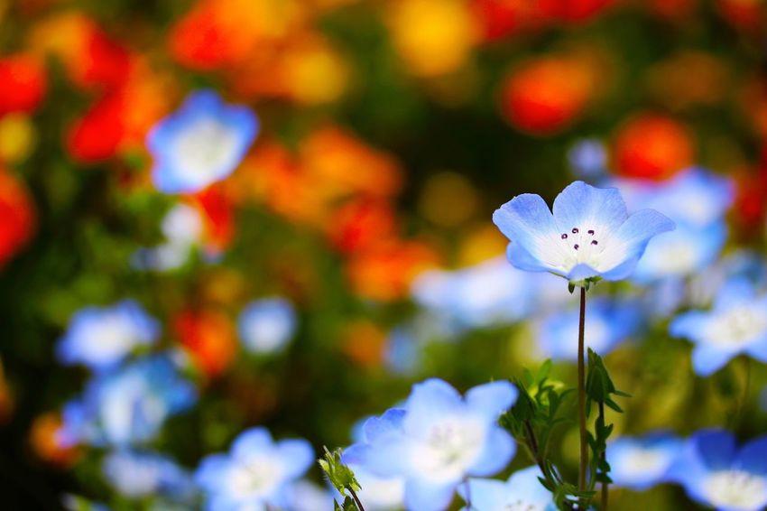 Flower ネモフィラ Nemophila BabyBlueEyes Blue