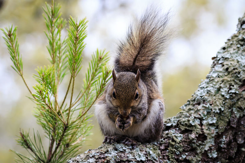 Squirrel Animal Animal Themes Animal Wildlife Animals In The Wild Branch Day Focus On Foreground Growth Mammal Nature No People One Animal Outdoors Plant Rodent Selective Focus Sitting Squirrel Tree Vertebrate