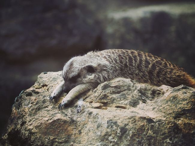 Animal Themes Animal Zoo Zoo Animals  Zoophotography Erdmännchen Slepping Sleep Close-up Animals In Captivity Cage Sand Meerkat Textured