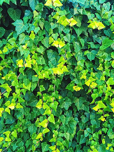 Wall of Ivy Ivy Leaves Climbing Ivy Green Green Ivy Green Leaves Plants Background Texture Nature_collection Nature Textures Details Nature Details Leaves&Vines Ivy Leaves Natures Green