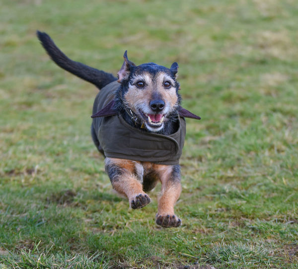 Animal Animal Themes Canine Day Dog Domestic Domestic Animals Field Grass Land Looking At Camera Mammal Mouth Open Nature No People One Animal Pets Plant Portrait Running Vertebrate