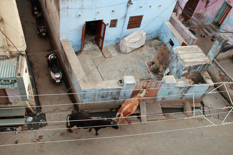 Knock Knock! Who's There?! Animal Themes Animals Cows🐮 High Angle View Indiapictures Knock Knock Mammal No People Outdoors Pilgrim Street Visit Visitantes Indianphotographer Indiapicture Pet Portraits