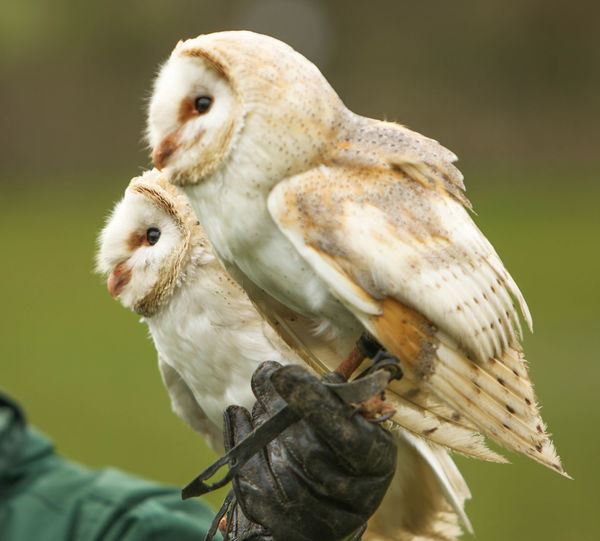 Close-up of two owls perching outdoors