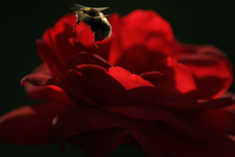 Flower Red Rose - Flower Petal Flower Head Close-up No People Nature Fragility Plant Growth Beauty In Nature Black Background Outdoors Freshness Day Flowerporn Insect Photography Rose♥ Flowers In My Garden Lucky Shot Hummel Eyeemphotography Darkness And Light
