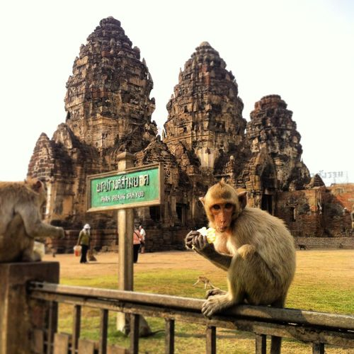 Spotted In Thailand Monkey Business Cityofapes Battle Of The Cities