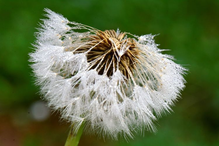 Dandelion With Dew Drops Beauty In Nature Close-up Dandelion Dandelion Seed Dandelion Seed Head Day Flower Flower Head Flowering Plant Focus On Foreground Fragility Freshness Growth Inflorescence Nature No People Outdoors Plant Softness Vulnerability  Wet Dandelion White Color