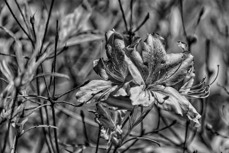 Rhododendron in Black & White Black & White EyeEm Selects Plant Close-up Growth Beauty In Nature Nature Day Focus On Foreground Flower No People Fragility Flowering Plant Vulnerability  Plant Part Freshness Flower Head Leaf Inflorescence Outdoors