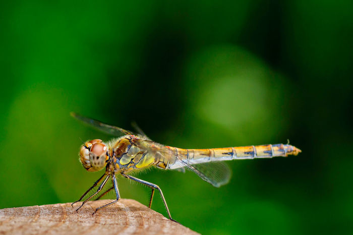 Dragonfly Macro Beauty Macro Photography Animal Eye Animal Themes Animal Wing Close-up Dragonfly💛 Focus On Foreground Green Color Insect Invertebrate Macro Macro Nature Macro_collection Outdoors