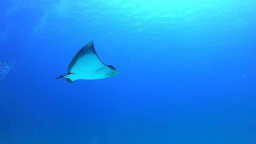 Underwater Under The Sea Sea Eagleray Eagle Ray Blue Scuba Diving Scubadiving Blue Wave