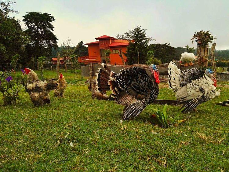 Farm Life Hens And Chickens Gallinas Chompipe Granja Gallinero Turkey