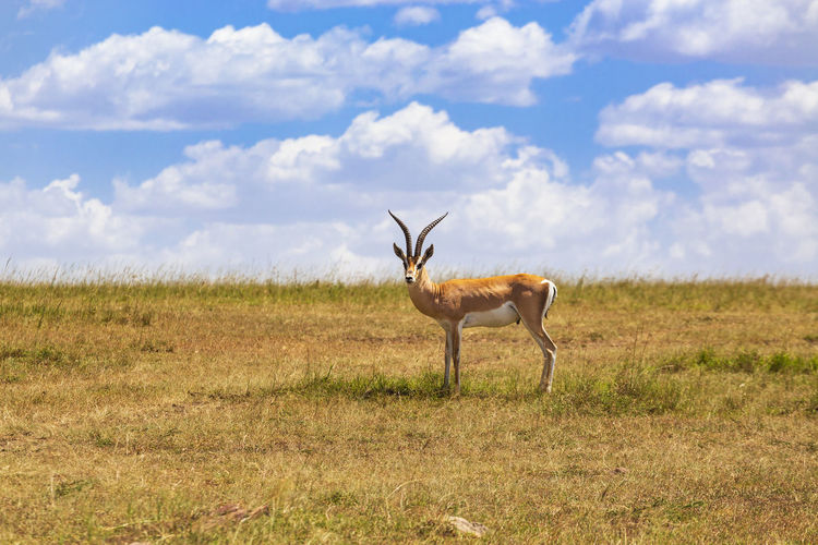 Grant's gazelle with big horns on the grass savanna in africa