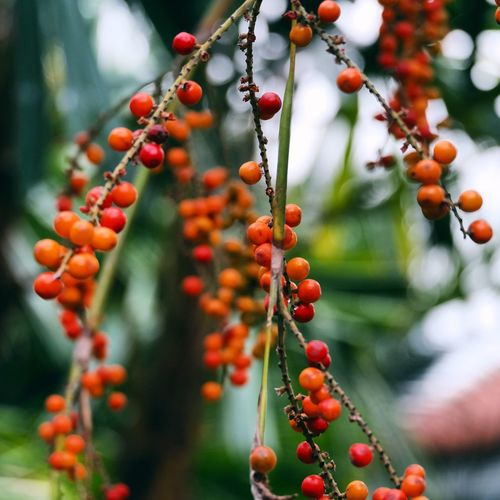 Healthy Eating Food Food And Drink Fruit Growth Berry Fruit Freshness Day No People Focus On Foreground Wellbeing Orange Color Outdoors Tree Plant Close-up Red Rowanberry Nature Beauty In Nature
