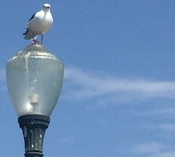 Seagull perched on lamp John Wick John Wick Photography Johnwickphotography Bird Low Angle View No People Animal Themes Sky One Animal Animal Wildlife Outdoors Animals In The Wild Perching Day