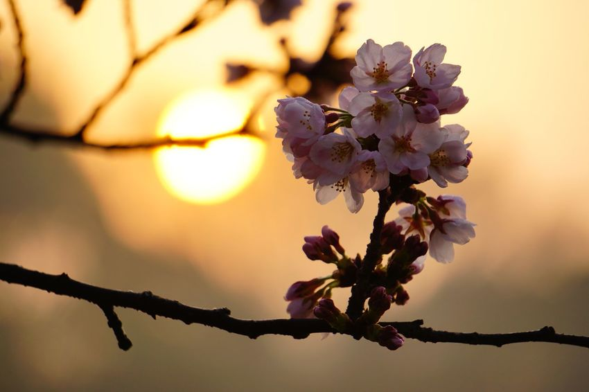 Sunshine Sakura 2 EyeEm Selects Flower Beauty In Nature Fragility Nature Blossom Tree Branch Flower Head Petal Close-up Springtime Growth Botany Freshness No People Sunlight Day Outdoors Focus On Foreground Plant