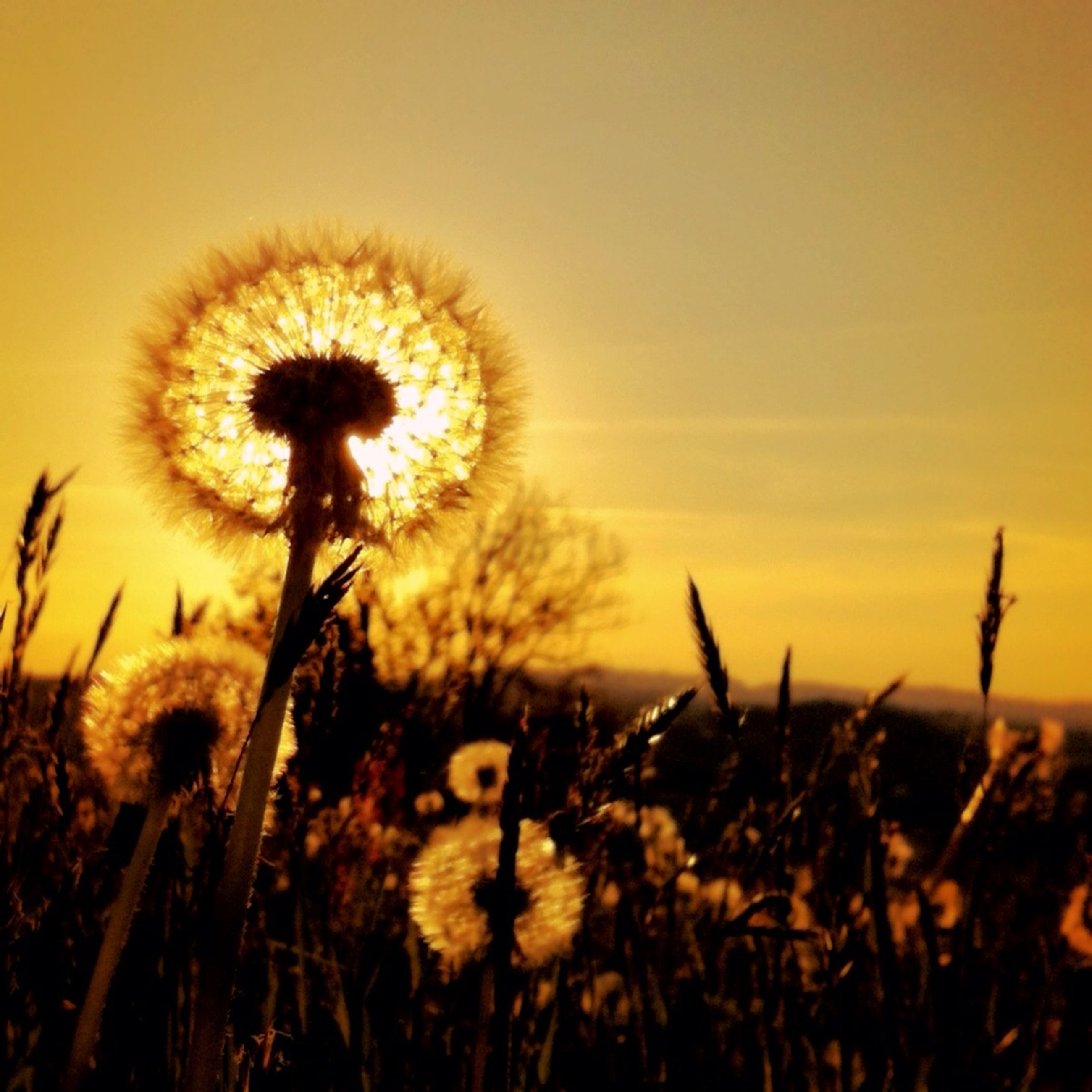 dandelion, flower, growth, fragility, beauty in nature, freshness, nature, stem, focus on foreground, flower head, field, close-up, plant, yellow, sunset, sky, clear sky, uncultivated, outdoors, selective focus