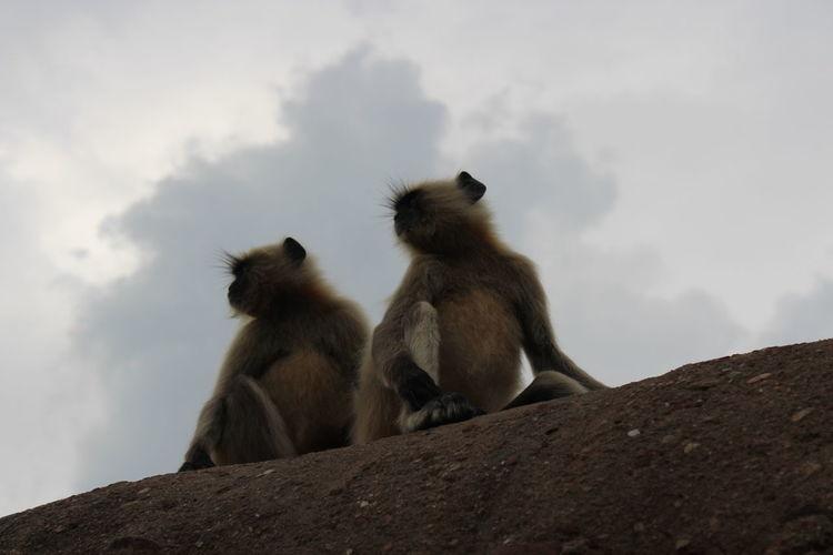 Black & White Blackmonkeys Looking For Food Ranthambore National Park Langur Monkey
