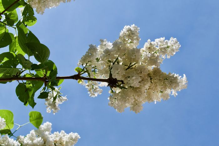 Beauty In Nature Blooming In Spring Blossom Branch Day Flower Flowering Plant Fragility Growth Lilac Low Angle View Nature No People Outdoors Plant Sky Spring Springtime White Lilac