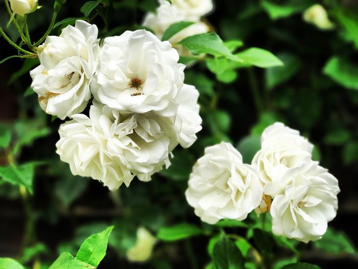 Flower White Color Petal Focus On Foreground Nature Flower Head Close-up Rose - Flower Fragility Beauty In Nature