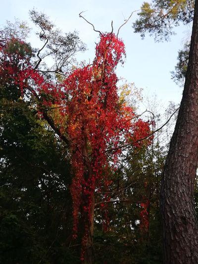 Autumn Tree Red