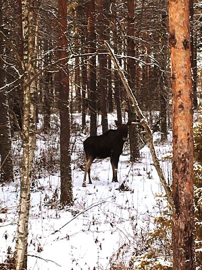 Look what I met in the woods today. Check This Out Elk Moose Scandinavia Sweden Wood Woods Nature Nature_collection Nature Photography Nature_collection IPhoneography Nature Textures Outdoors Outside Looking At Camera Look Wildlife Wildlife & Nature King Forest King Of The Jungle